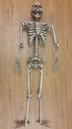 Boney Skeleton 5 feet